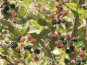 Fresh berries growing at Vineyard Ranch