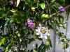 Passionflower vines at Vineyard Ranch