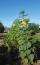 Sunflowers growing at Vineyard Ranch
