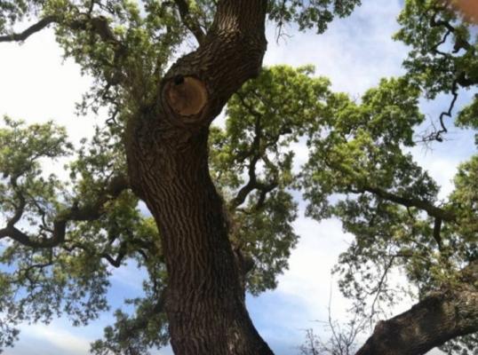 Majestic oak trees at Vineyard Ranch