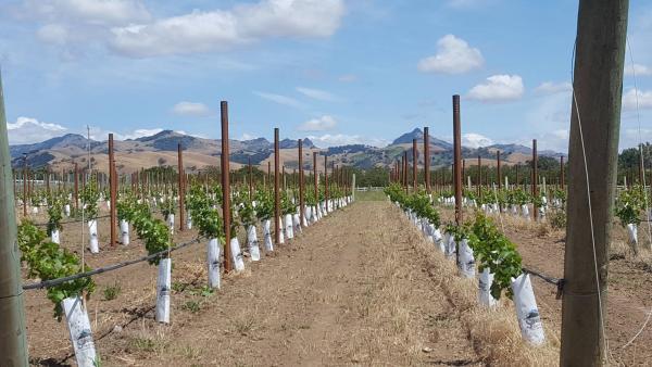 Young vines at Vineyard Ranch Resort