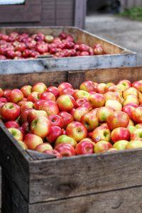 Apple Picking in San Luis Obispo