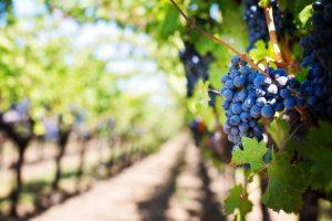 closeup of grapes at a vineyard in Napa Valley, California