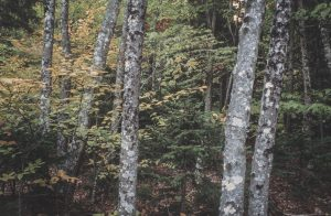 Forest trees and fall foliage in Maine