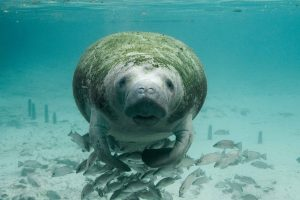 manatee underwater surrounded by fish